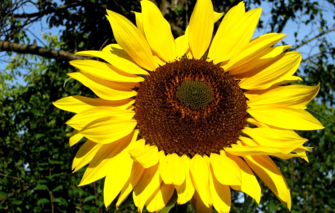 geburtstagsblumenstrauss-sonnenblume-geburtstagsgeschenk24-de